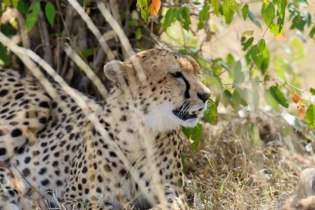 Дикий африканский гепард, красивое млекопитающее. африка, кения Premium Фотографии