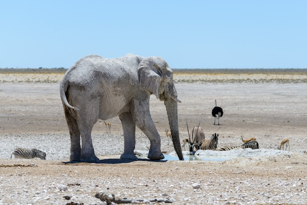 Дикий африканский слон на водопоя в саванне