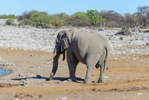 Дикий африканский слон гуляет в саванне