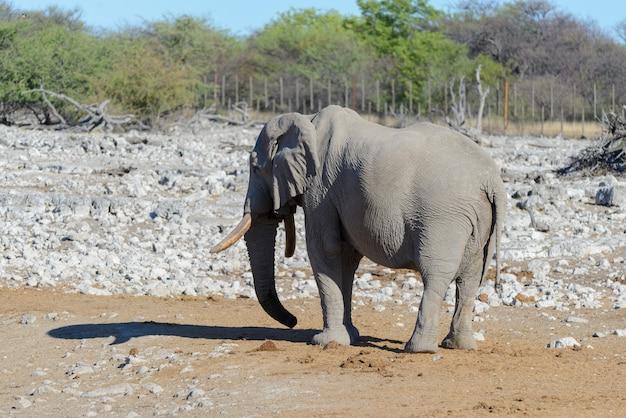 サバンナを歩く野生のアフリカ象