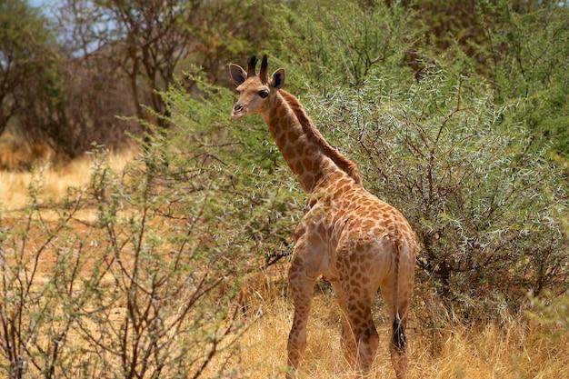 野生のアフリカの生活。晴れた日にサバンナで赤ちゃんの南アフリカのキリン。ナミビア