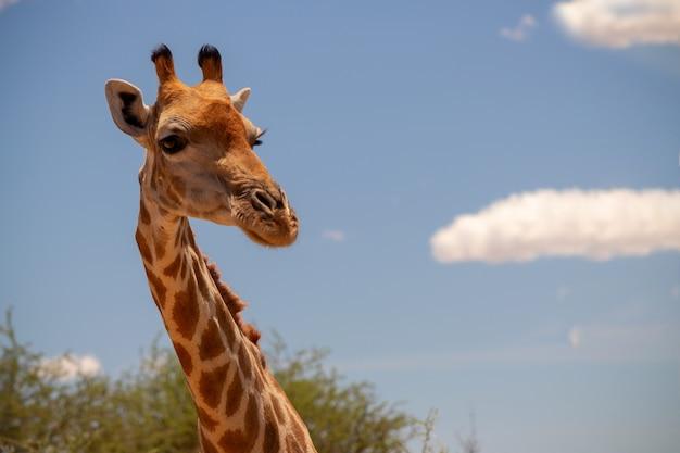 野生のアフリカの生活。夏の青い空にある大きな一般的な南アフリカのキリン。ナミビア
