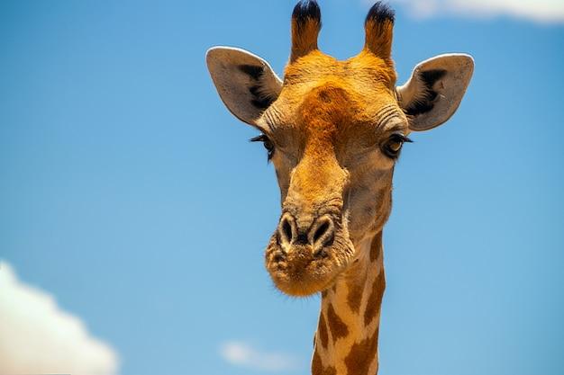 Дикая африканская жизнь. большой общий южноафриканский жираф на летнем голубом небе. намибия