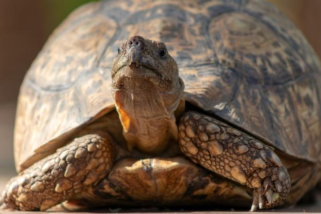 야생 아프리카 생활. 화창한 날에 귀여운 거북이 닫습니다. 나미비아