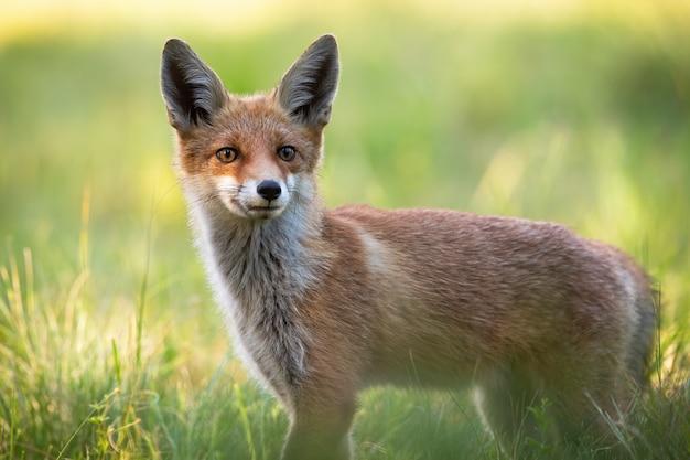 耳を前方に向けて猛烈に耳を傾ける野生のキツネに面したカメラ。