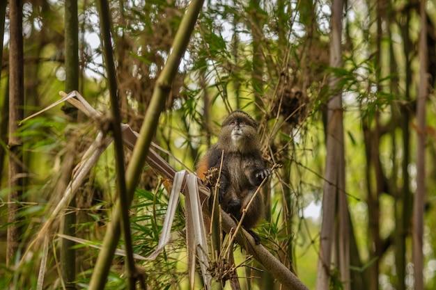 Дикие и очень редкие золотые обезьяны в бамбуковом лесу