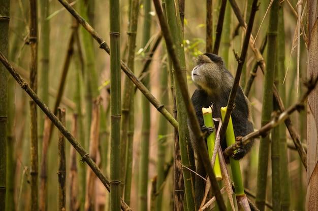 竹林の中の野生で非常に珍しい黄金の猿