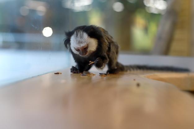 野生動物。ぼやけた背景の小さなuistiti猿。 callithrix jacchus