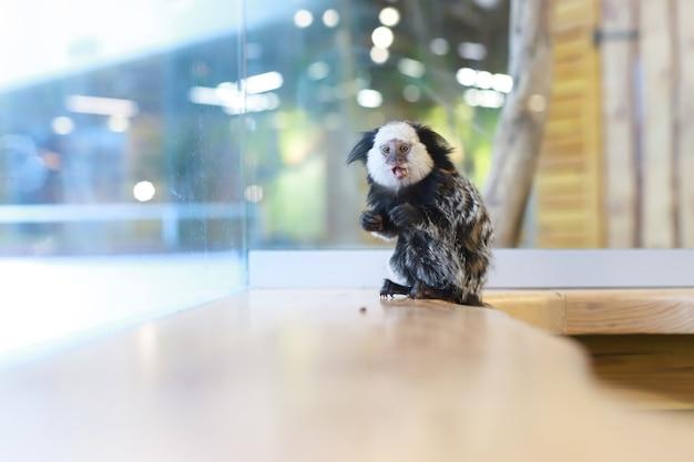 野生動物。ぼやけた背景の小さなuistiti猿は食べ物を食べます。碑文の場所 Premium写真