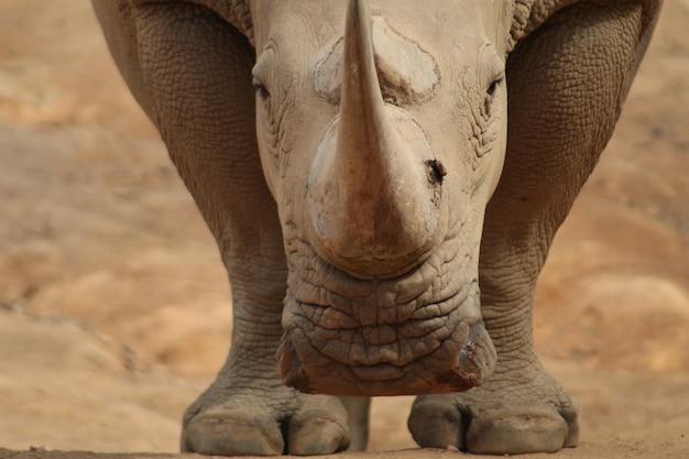 Wild animals. rare wild white rhinoceros looking at the camera
