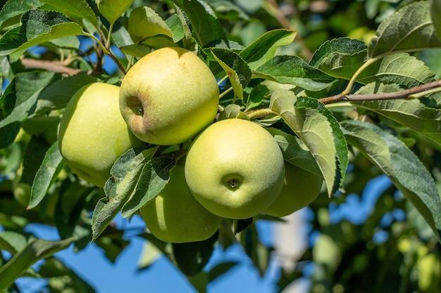 野生のリンゴの木。枝のクローズアップの青リンゴ。