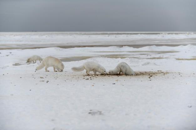ビーチで雪を掘る野生のホッキョクギツネツンドラで食べ物を探している白いホッキョクギツネ