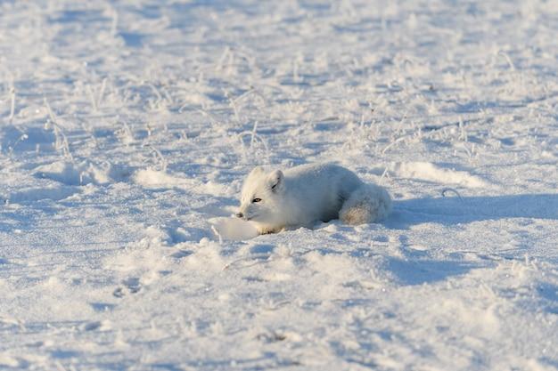 冬時間にツンドラに横たわっている野生のホッキョクギツネ。面白いホッキョクギツネが遊んでいます。