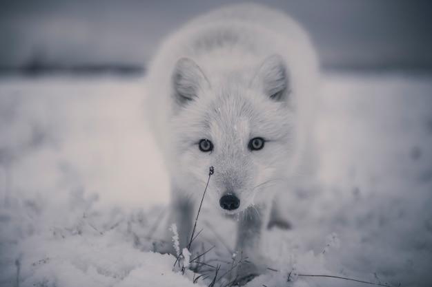 冬時間のツンドラの野生のホッキョクギツネ(vulpes lagopus)。白いホッキョクギツネがクローズアップ。