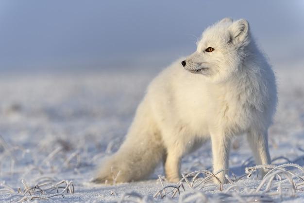 겨울철 툰드라의 야생 북극 여우(vulpes lagopus). 흰색 북극 여우를 닫습니다.