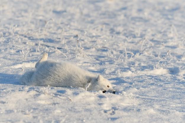 冬時間のツンドラの野生のホッキョクギツネ(vulpes lagopus)。横たわっている白いホッキョクギツネ。ツンドラで眠っています。