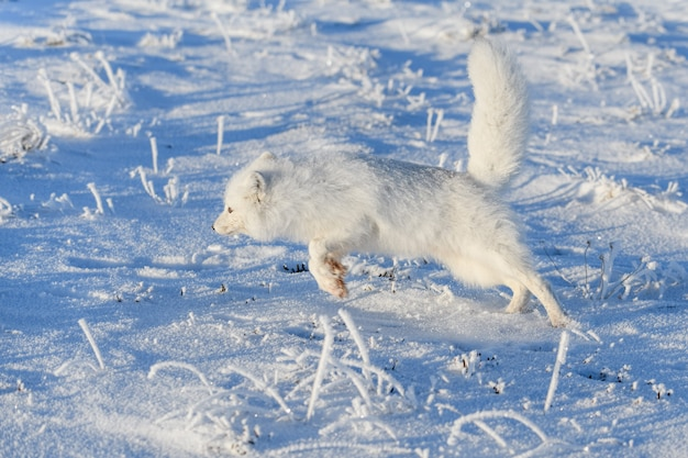 冬時間のツンドラの野生のホッキョクギツネ(vulpes lagopus)。走っている白いホッキョクギツネ。