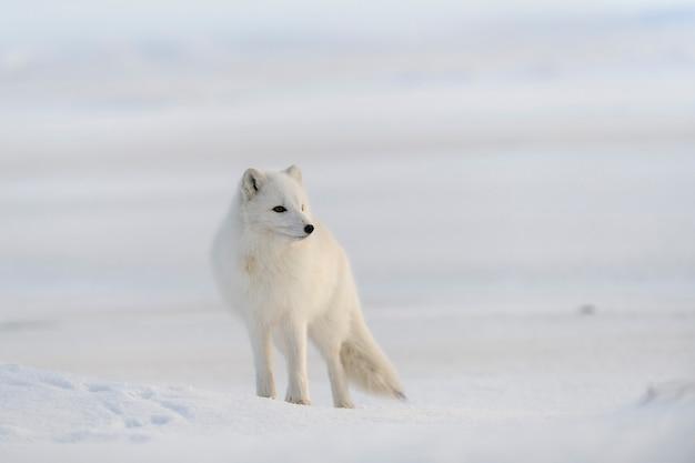 Дикий песец (vulpes lagopus) в тундре зимой. белый песец.