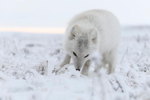 冬時間のツンドラの野生のホッキョクギツネ(vulpes lagopus)。白いホッキョクギツネ。