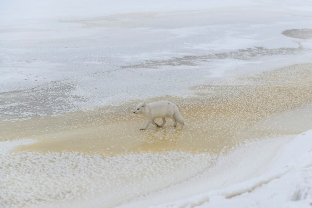 冬時間のツンドラの野生のホッキョクギツネ(vulpes lagopus)。白いホッキョクギツネ。 Premium写真