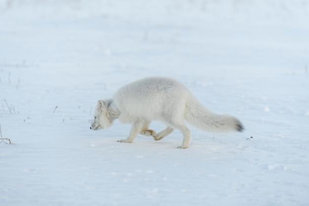 冬のツンドラで首にプラスチックを持った野生のホッキョクギツネ生態学の問題プラスチック汚染