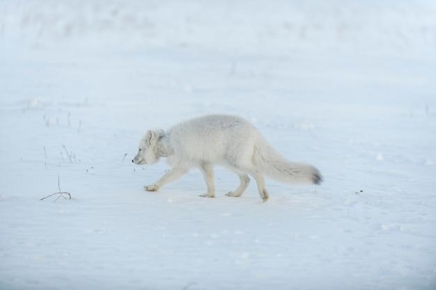 冬のツンドラで首にプラスチックを持った野生の北極キツネ生態学の問題プラスチック汚染