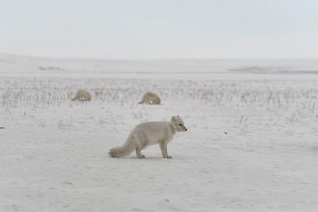 冬のツンドラで首にプラスチックを持った野生のホッキョクギツネ
