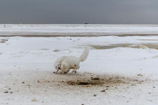 冬時間にツンドラで戦う野生の北極キツネ。白いホッキョクギツネは攻撃的です。