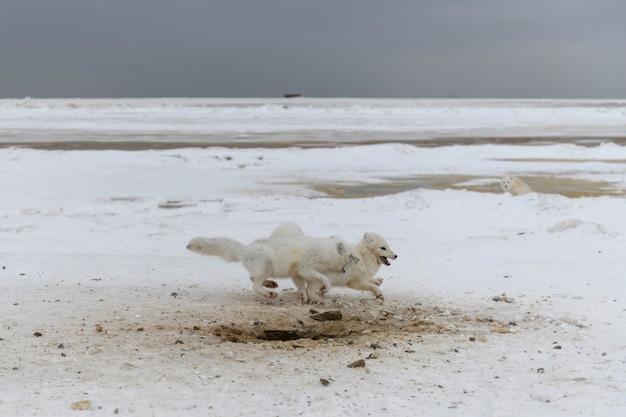 Wild arctic foxes fighting in tundra in winter time. white arctic fox aggressive.