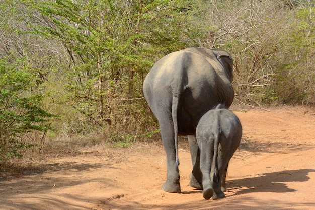 Wild asian elephant, yala national park, sri lanka