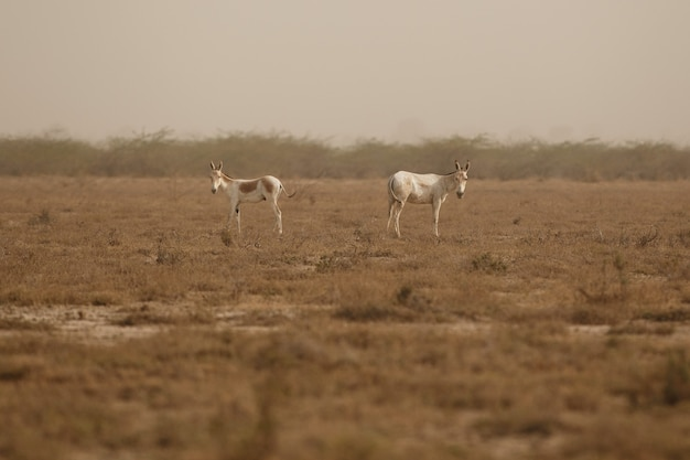Wild asses in the desert
