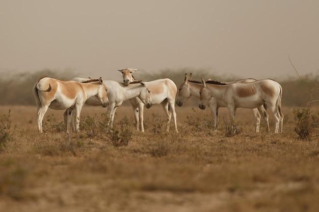砂漠の野生のロバ