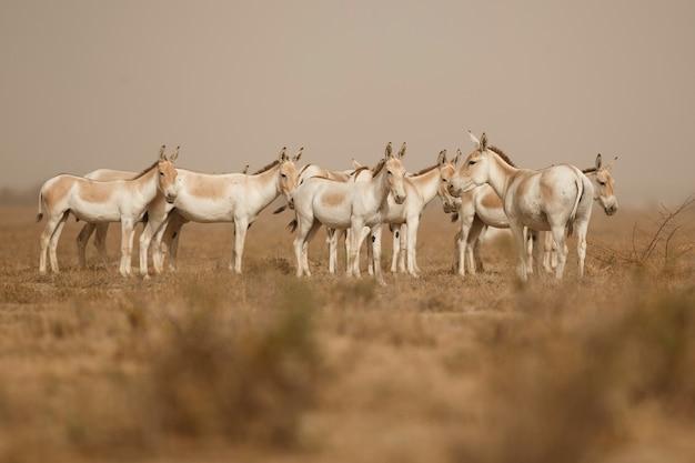 Дикие ослы в пустыне