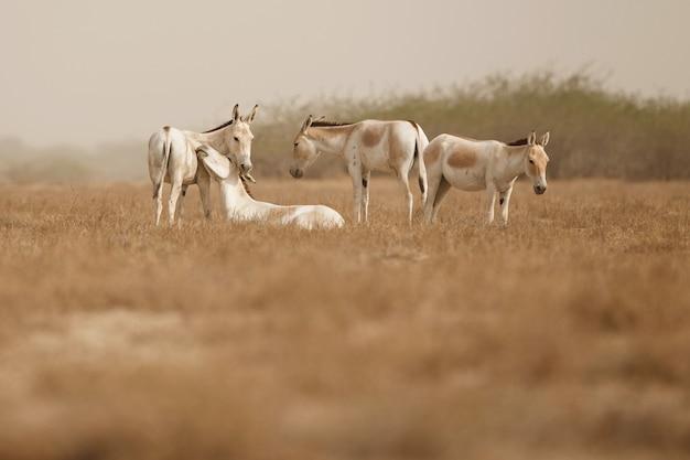 사막에서 야생 엉덩이