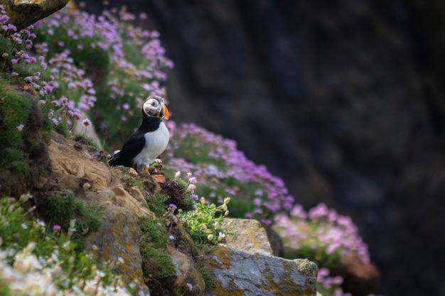 アイルランドの断崖に生息する野生のニシツノメドリ