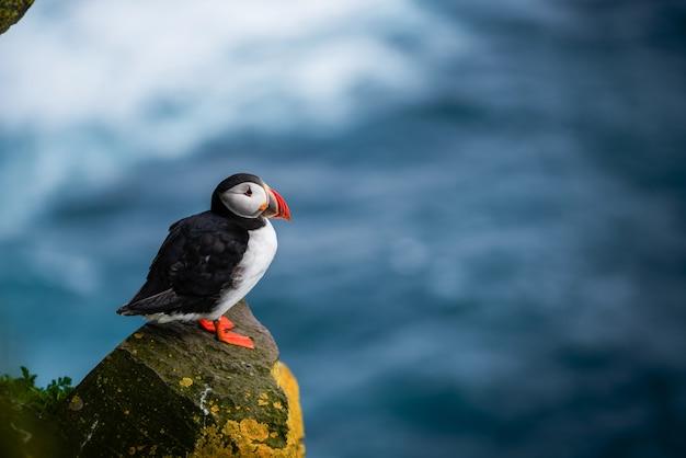 Wild atlantic puffin seabird in the auk family.