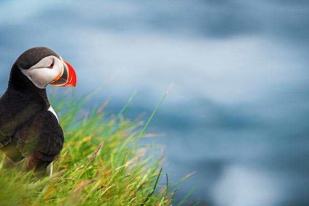 Auk家族の野生の大西洋puffin海鳥。