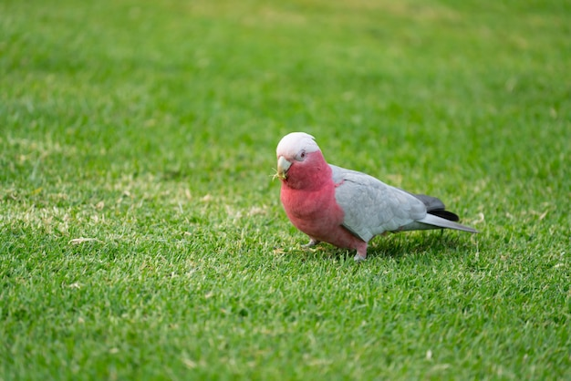 Wild australian galahs walking on green grass