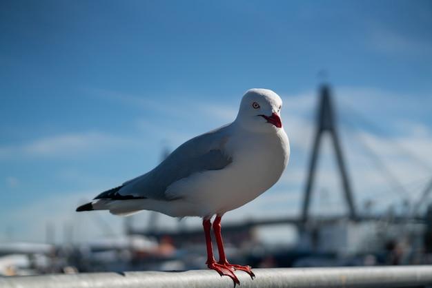 Wild australian seagull bird