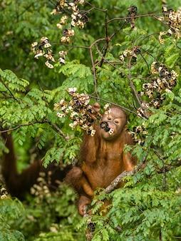 Дикий ребенок орангутанг ест красные ягоды в лесу борнео малайзия