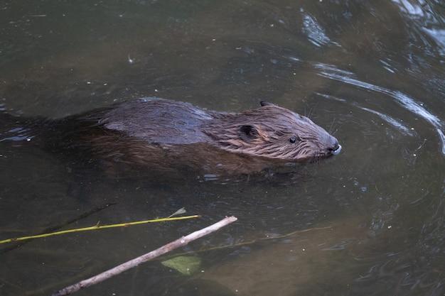 강에서 먹는 야생 비버 프리미엄 사진