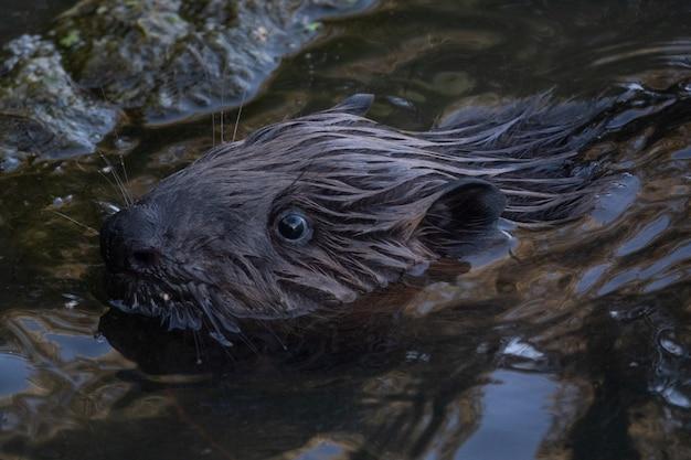 강에서 헤엄치는 야생 비버