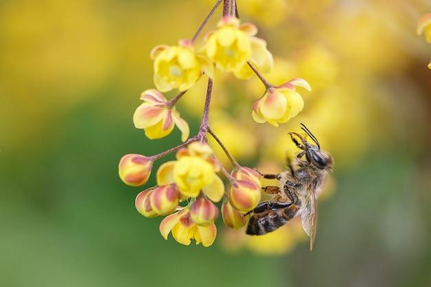 야생 꿀벌은 정원에서 매자 나무 꽃을 수분