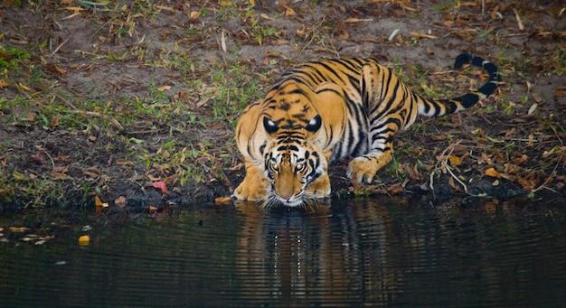 Дикий бенгальский тигр пьет воду из пруда в джунглях. индия.