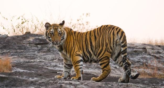 야생 벵골 호랑이는 정글에서 길을 가고 있습니다. 인도.