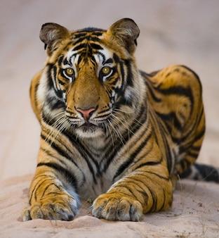 정글에서도 누워 야생 벵골 호랑이. 인도.
