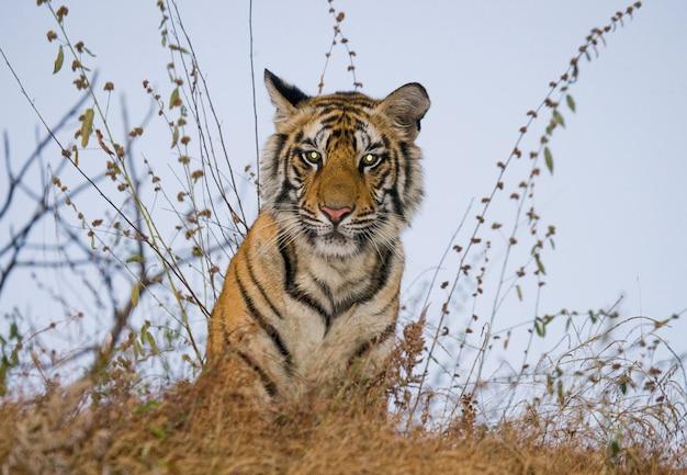 이른 아침에 바닥에 앉아 야생 벵골 호랑이. 인도.