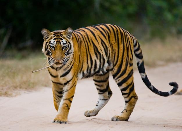 정글에서도 서 야생 벵골 호랑이. 인도.