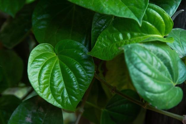 Wild betel leafbush green leaf(piper sarmentosum roxb.)