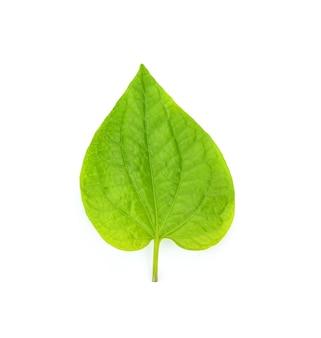 Wild betel leafbush , piper sarmentosum roxb on white background